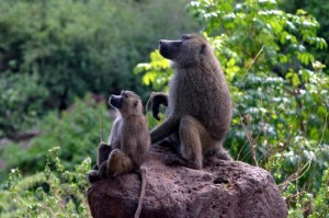 baboons_on_rock_wikipedia